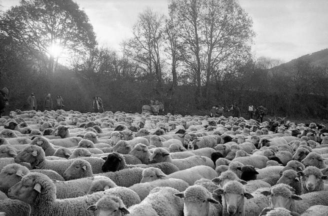 Une association pour valoriser la laine des brebis