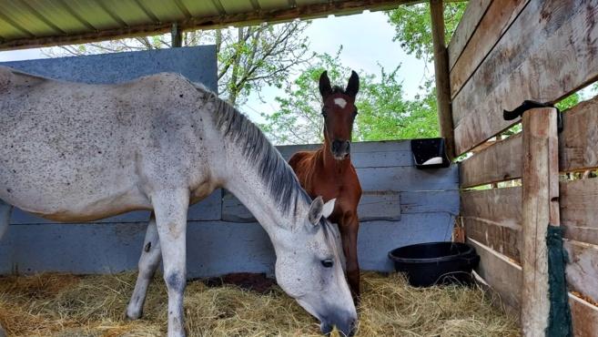 Isée et les chevaux endurants : Lubiana