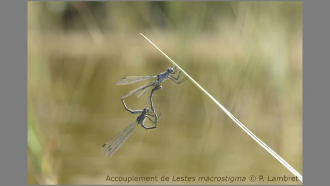 Un plan d'action sur 10 ans pour sauver les libellules