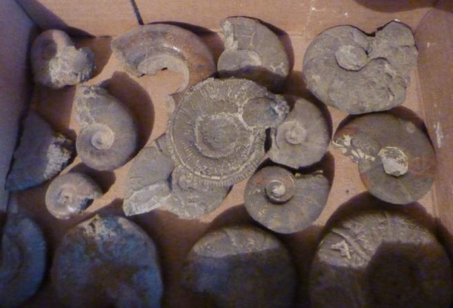 La commune de Barrème est riche en fossiles caractéristiques que sont les ammonites
