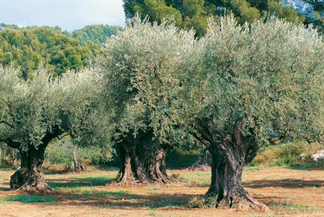 Oléiculteurs, oléicultrices, c'est le moment de se prémunir de la mouche de l'olive.