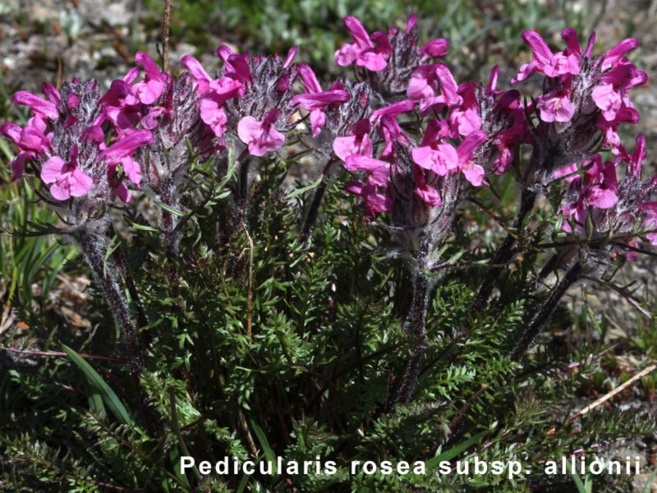Pedicularis Rosea