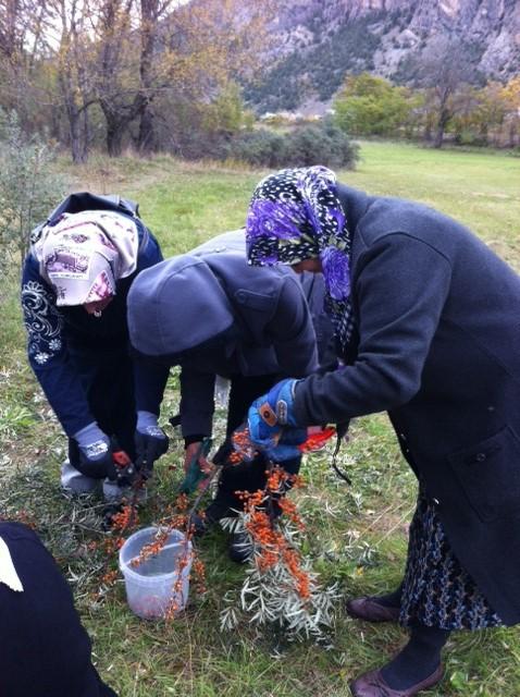 Récolte des plantes sauvages pour le repas Turco Alpin