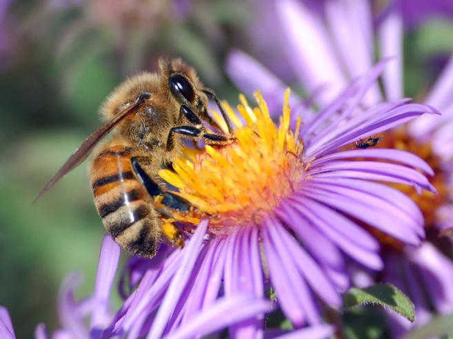 Les secrets des abeilles dévoilés dans une chronique radiophonique