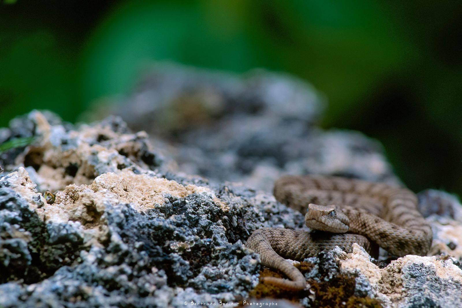 Vipère Aspic ©Bertrand Bodin