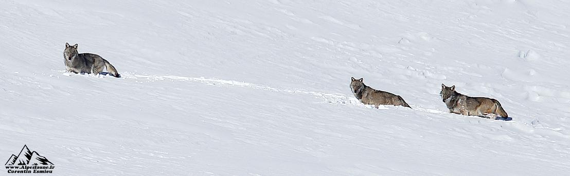 Corentin Esmieu a photographié une meute de loups pendant quatre ans