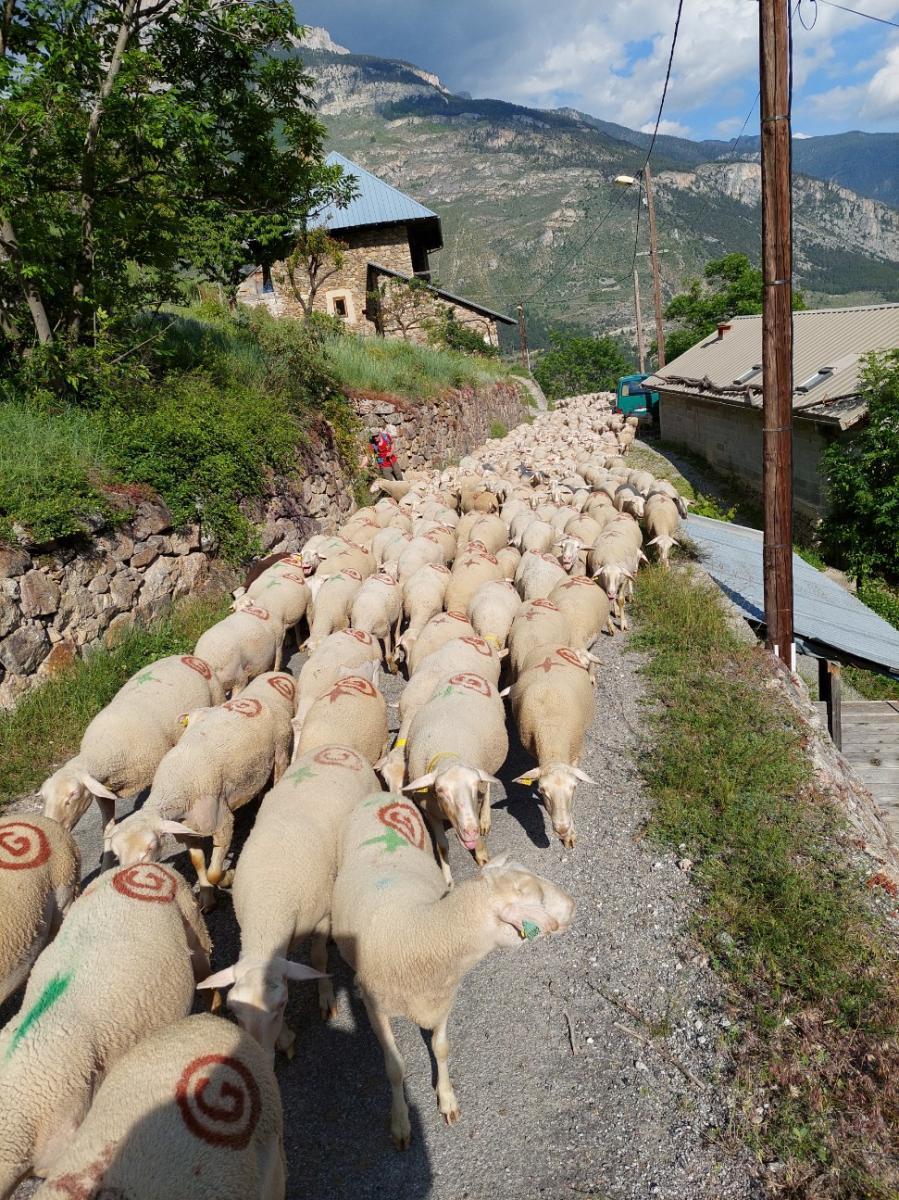 La transhumance a commencé dans les Alpes du sud