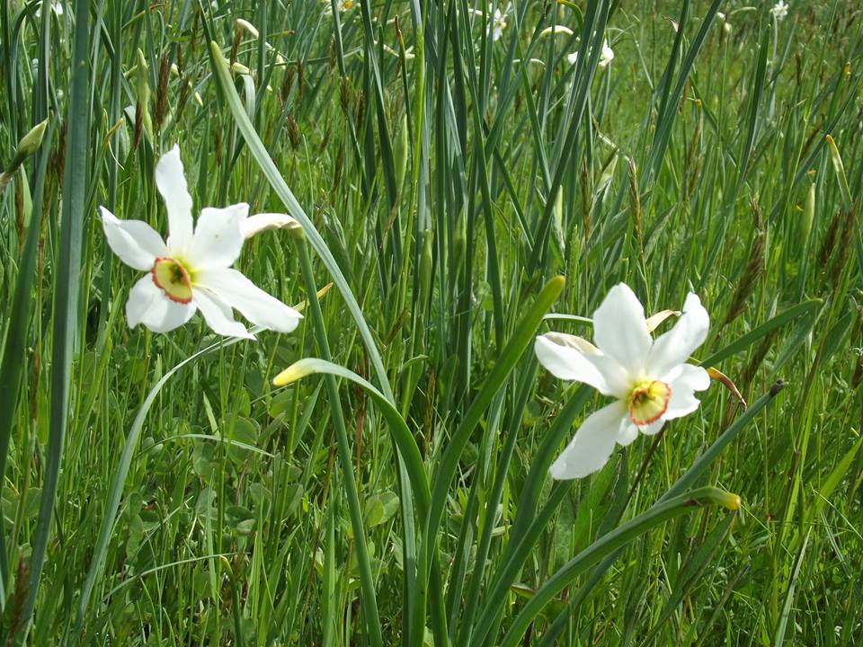 Matinale du 12 mai 2015 sur la 12ème Fête du Narcisse à la Martre des 23 et 24 mai 2015