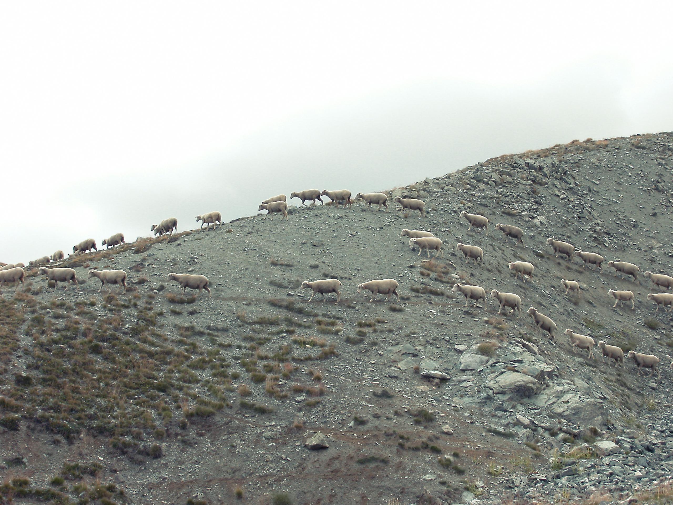 Les bergers des Alpes de Haute Provence doivent être soutenus !