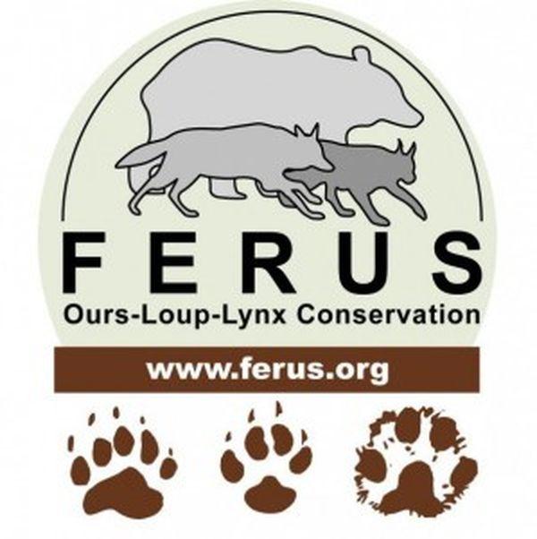 L'association FERUS défend la présence du loup
