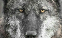 A Gap les Loups sont de sortie !
