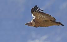 Compter les vautours avec la Ligue de Protection des Oiseaux !