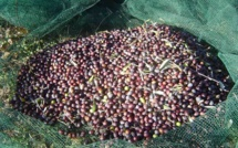 Bilan positif malgré la mouche dans les olivettes de Montlaux